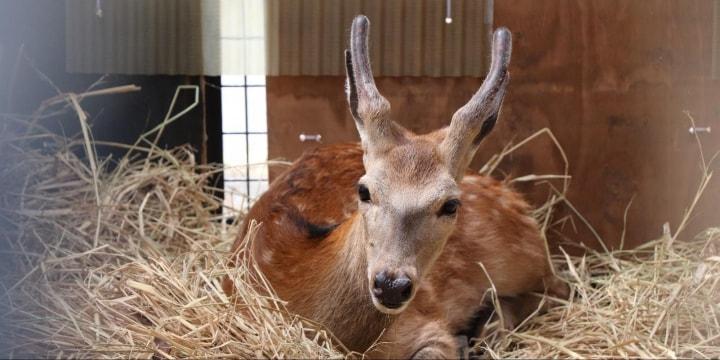 捕獲された「荒川のシカ」に殺処分の危機 東京都「ペットとしては飼えない」