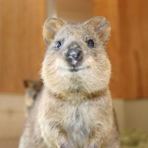 世界唯一の「クオッカ」国外展示を実現 埼玉の動物園がオーストラリアから認められた理由