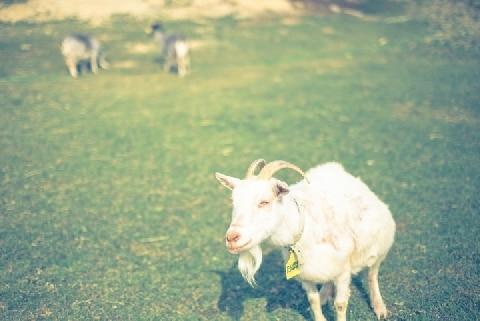 盗んだ「ヤギ」を食べたら・・・「窃盗」のほかの犯罪も成立するの?