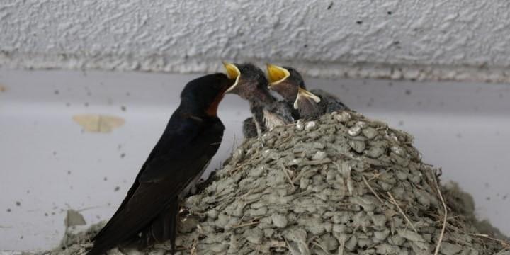 「ツバメの巣」を壊したら「鳥獣保護法違反」で罰せられるってホント?