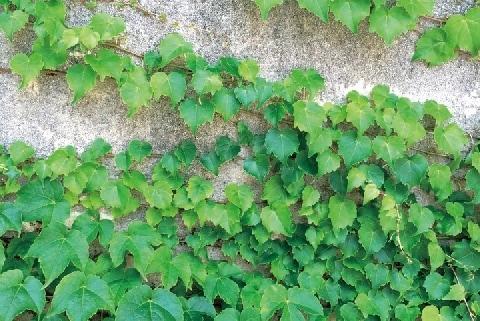 隣の敷地から伸びてきた「ツタ」が壁に張り付いた――勝手にはがしても問題ない?