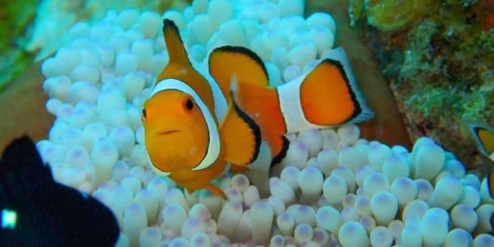 「カクレクマノミ、捕ったどー!」ダイビング中に「魚」を持ち帰ったらダメ?