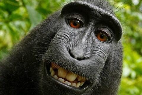 「サルの自撮り」著作権認めない判決、人間との線引きは厳格なものだった
