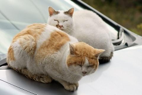 他人の「放し飼い」猫が花壇荒らし、車の上で暴れる…保健所に届けることは可能?