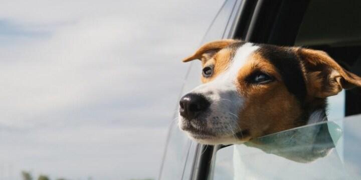 「楽しそうに外見ている」車の窓から顔出すワンちゃん、可愛いけど道交法違反の可能性も