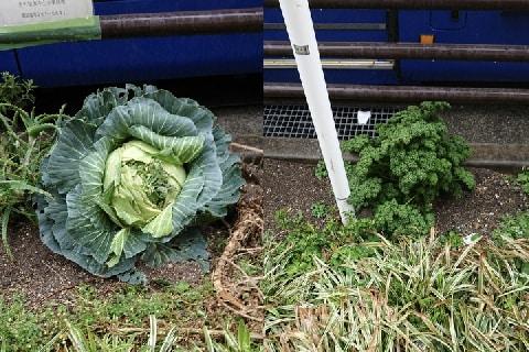 えっ、歩道脇の植え込みに大きなキャベツやパセリ!…勝手に「家庭菜園」したらダメ!